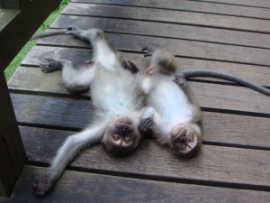 monkeys laying on ground together belly up