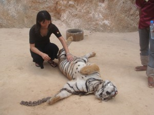 petting adult tiger laying on its back at tiger temple in thailand