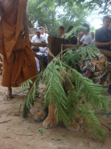 monk holding tree branches for tiger to play with