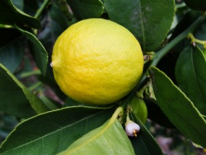 closeup of lemon with little white flower visible