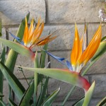 birds of paradise flowers