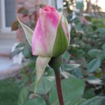pink and white rose bud