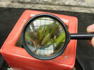 looking at venus flytraps through magnifying glass