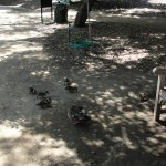 ducks on family outing