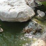 ducklings plopping into water