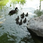 duck family swims off into lake