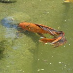koi fish with huge fins like beta fish