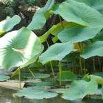 dragonfly flying past cluster of lotus leaves