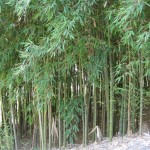 bamboo stalks growing densely