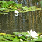 one turtle swims away from lily pad as other follows