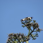 bird on cactus tree spreads wings to reveal black and white pattern