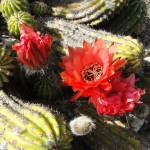 large red flowers blooming from cactus on ground