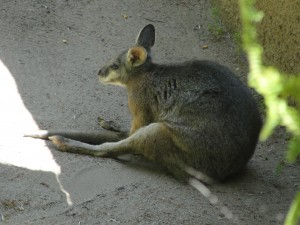 wallaby hunched forward with legs outstretched