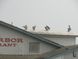 pelicans on the roof of a restaurant at santa barbara pier
