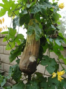 very large squash on the vine for so long it started to rot