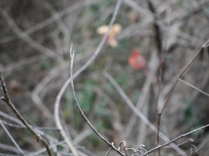 blurry picture of red bird in background, with focus on branches in near view