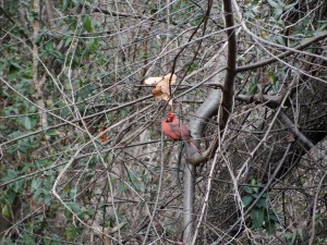 clear picture of red bird in trees