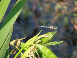 dragonfly takes a break on plants by edge of pond