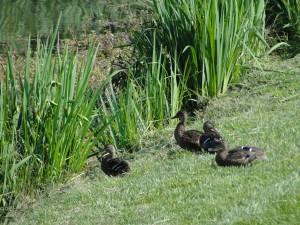 cluster of female ducks hanging out by edge of pond