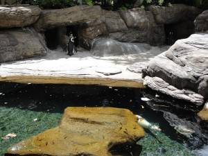 penguins, a koi fish, and a turtle all in one habitat at hilton waikiki village in hawaii