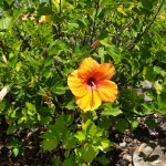 yellowish orange hibiscus flower