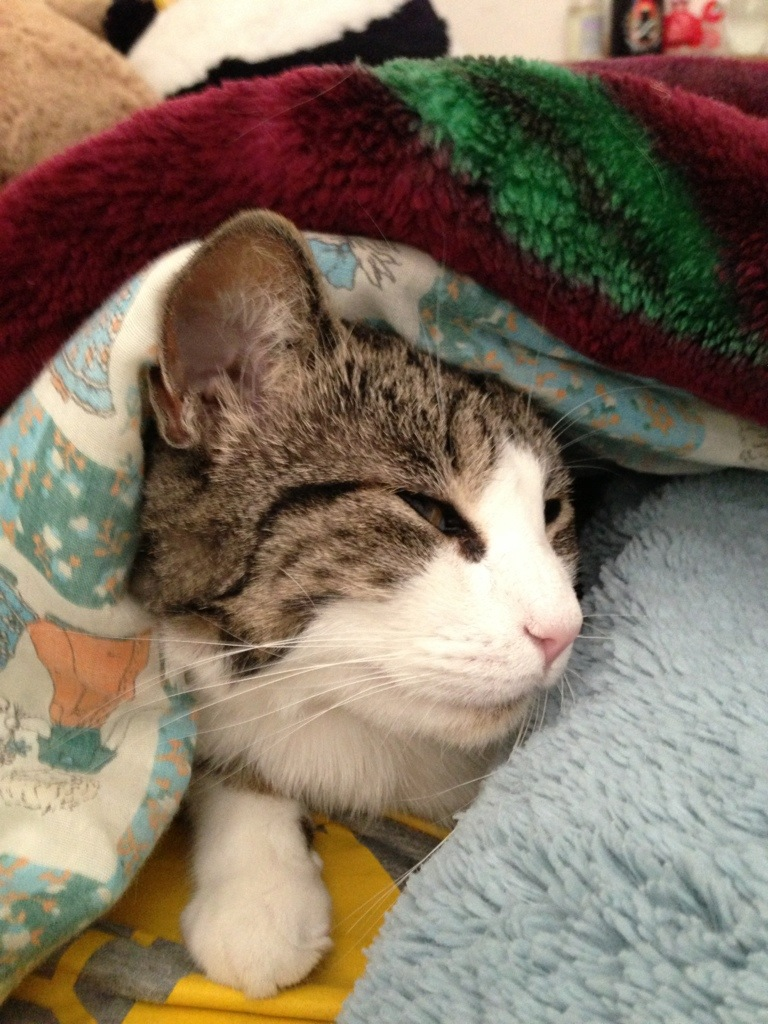 cat emerging from space under blanket