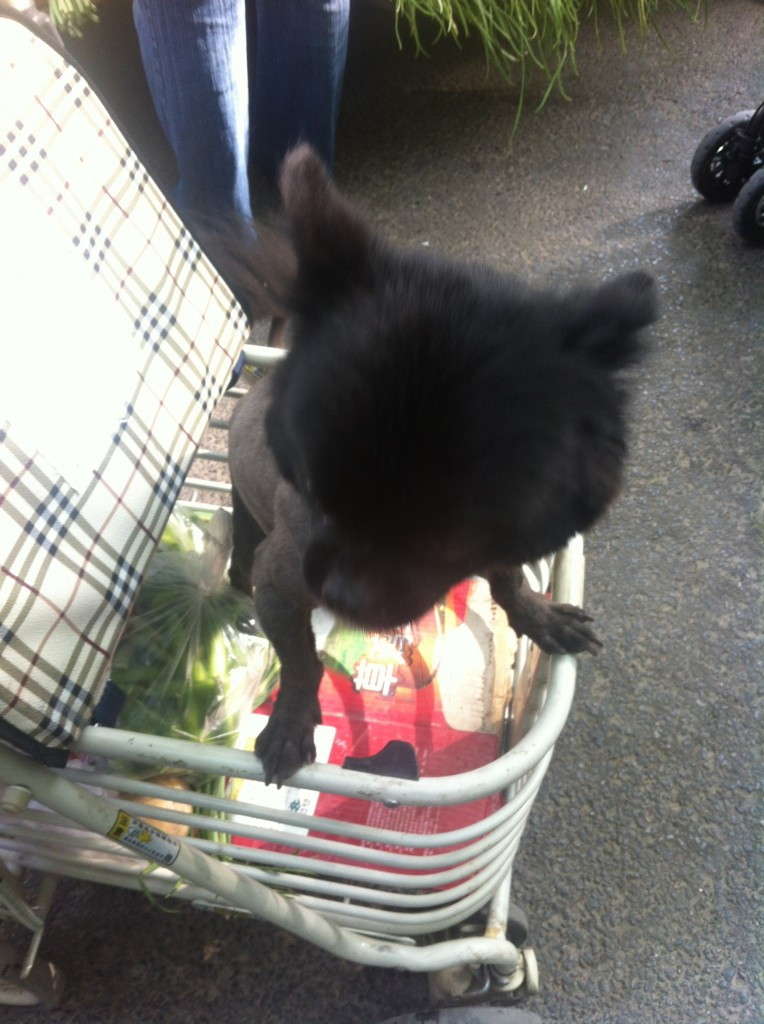 small black dog standing up in shopping cart at market