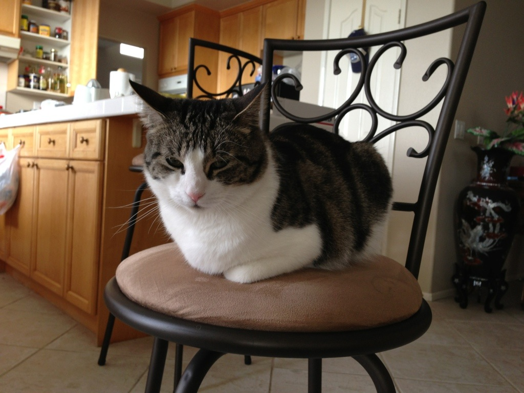"cat sitting on chair in ""loafing"" position to fit without falling off"