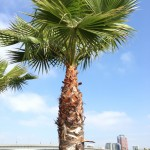 Giant palm tree.