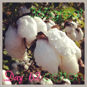 365great challenge day 62: cotton