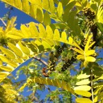 bee working hard to pollenate tree with bright yellow green leaves