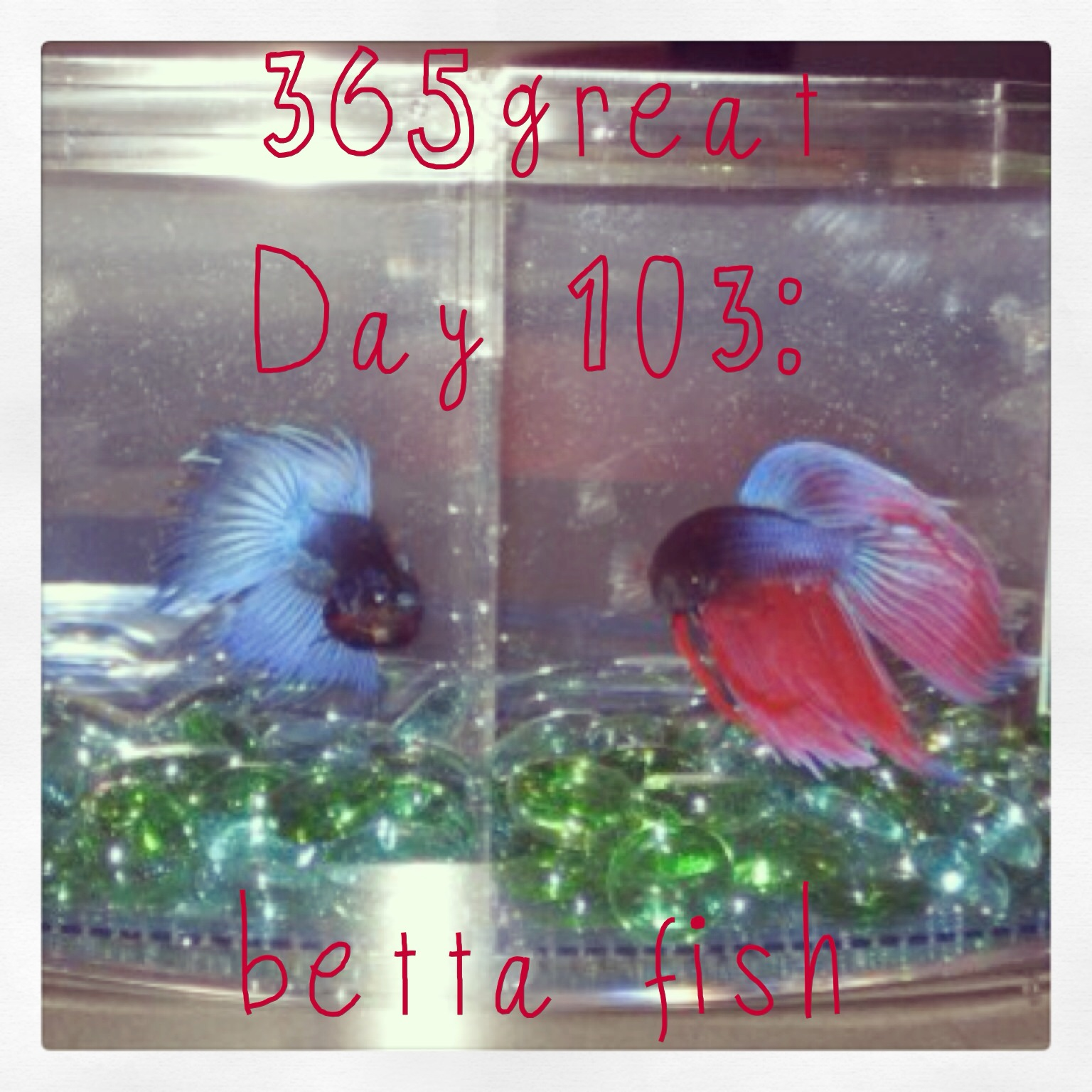 365great day 103 betta fish little fat notebook for Can you put betta fish with other fish
