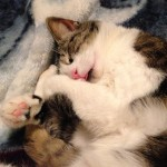 cat sleeping with head tucked into paws curled up