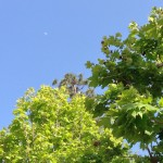blue sky and green leaves on trees with moon visible in daylight