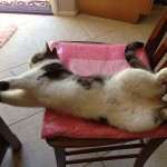 cat stretching out on chair with belly up