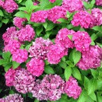 vibrant clusters of pink and purple flowers