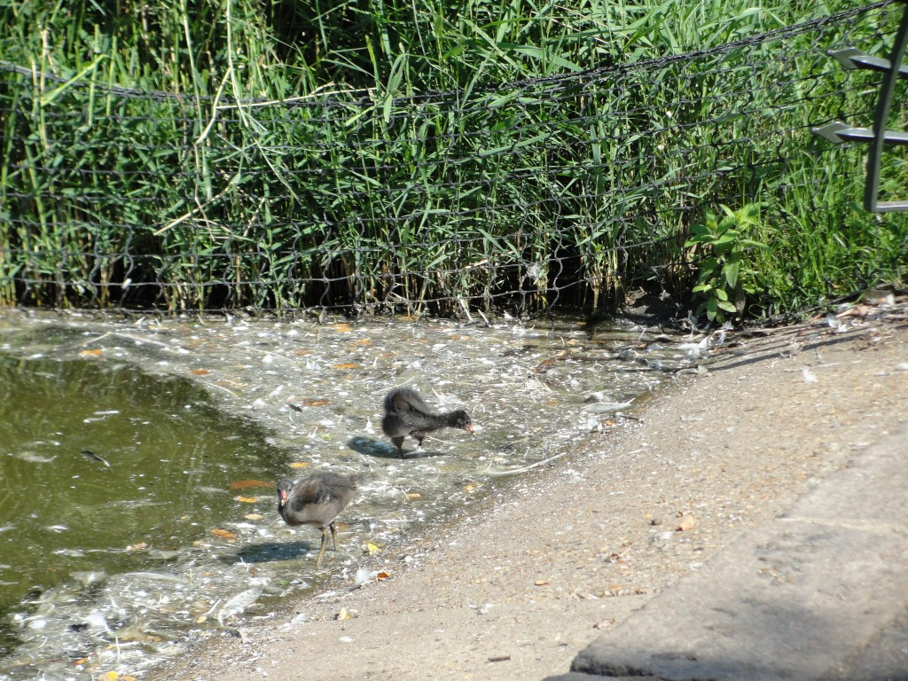 two baby coons at edge of pond near nest in reeds
