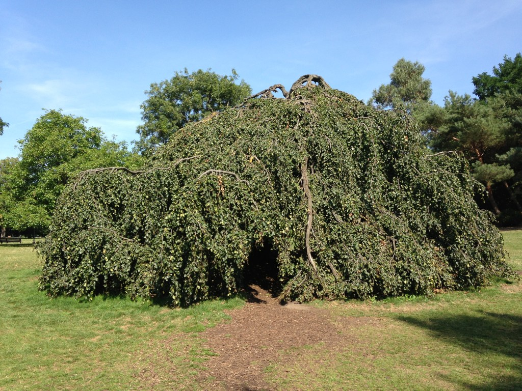 large tree in park with branches growing down creating cave space underneath