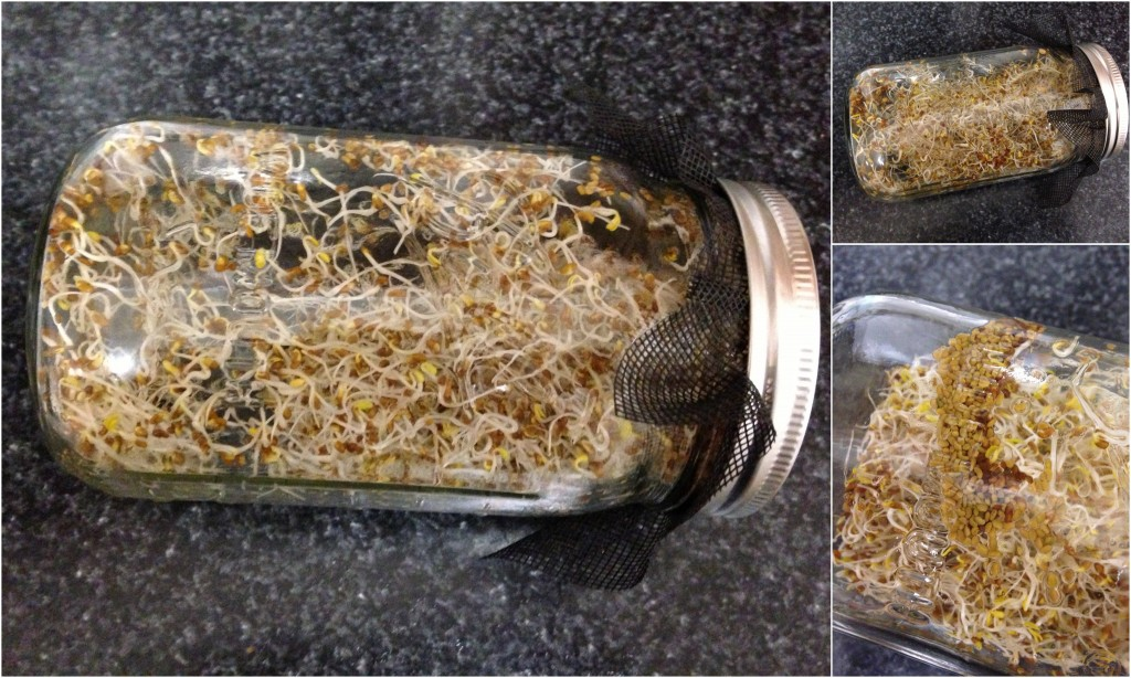 collage of alfalfa sprouts growing in glass ball jar