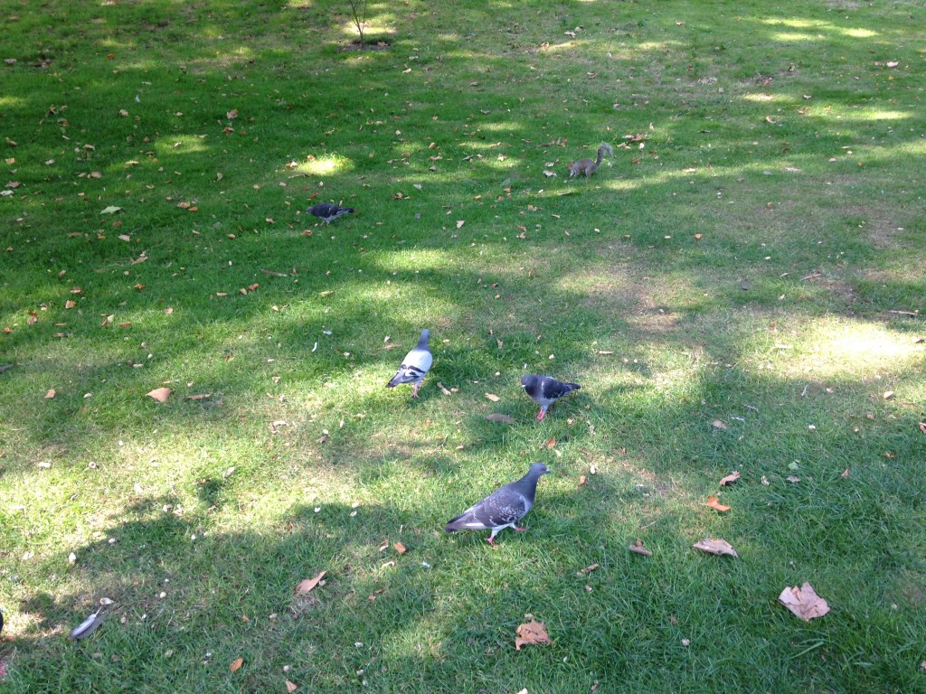 bunch of pigeons and one squirrel eating on grass