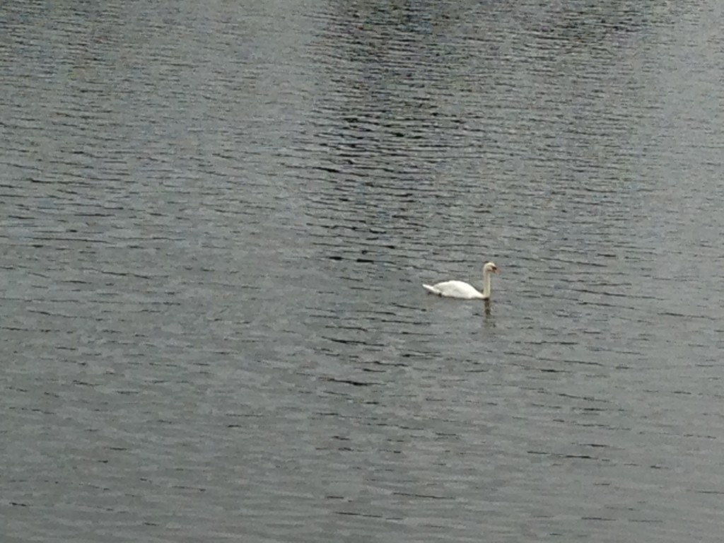 white swan swimming on river in cardiff