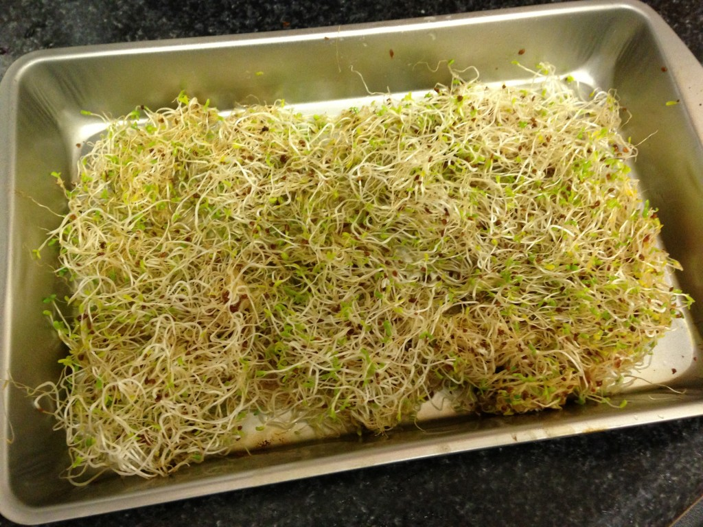 tray of full grown alfalfa sprouts with green heads after getting sunlight