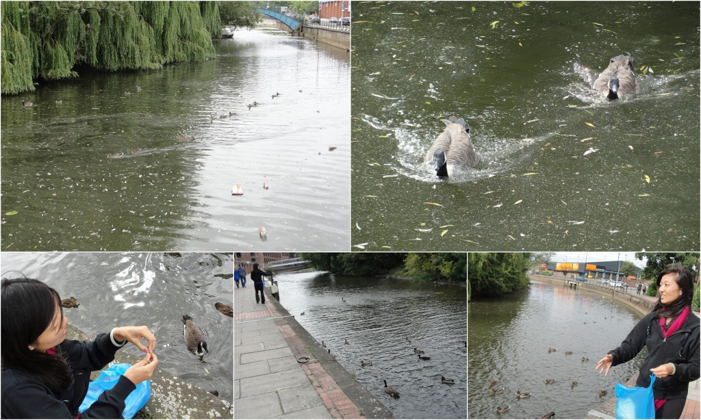 collage of ducks and geese in river being fed and following food along bank