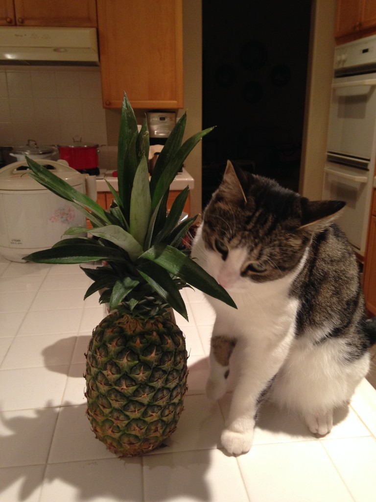 cat sniffing pineapple and rubbing teeth on leaves