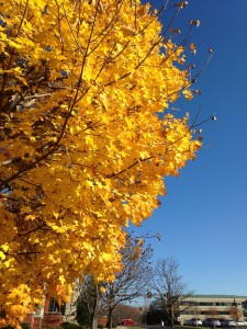 tree in fall with bright yellow leaves against blue sky