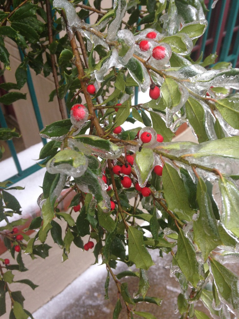 red berries and green leaves of plant covered in layer of ice