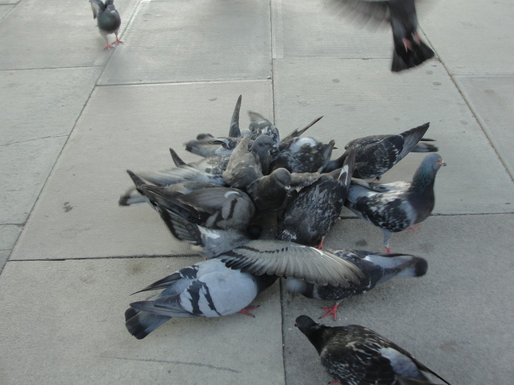 crowd of pigeons fighting over food
