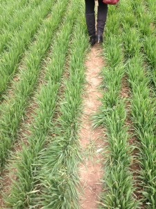 rows of fresh green wheat crops in winter