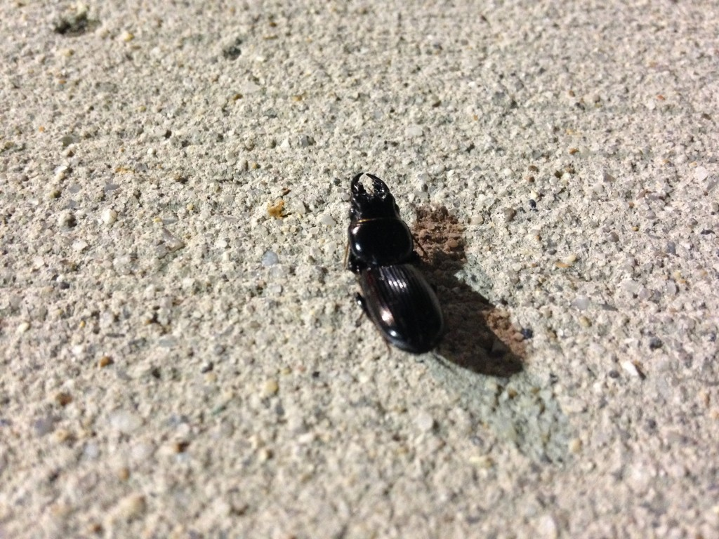 eastern bess beetle on sidewalk at night