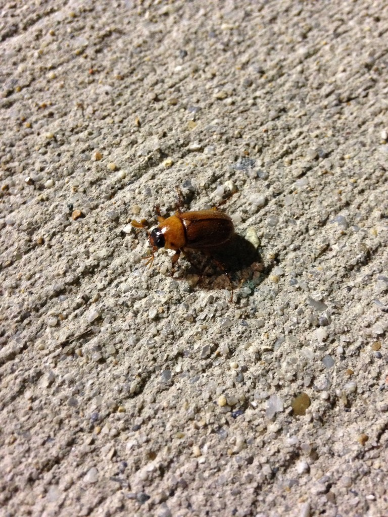 june bug on sidewalk at night
